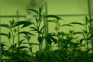 Marijuana cultivation Cannabis
