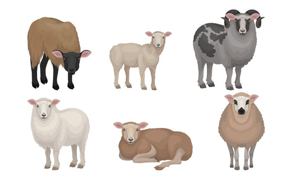 Farm Cattle with Hornes and Wooly Coat Vector Set