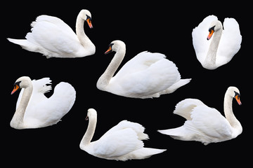 White swan birds isolated on black background