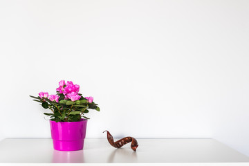 Pink azalea flower blooming in a pot standing on the white background.