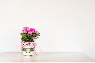 Photo sur Plexiglas Azalea Pink azalea flower blooming in a pot standing on the white background..
