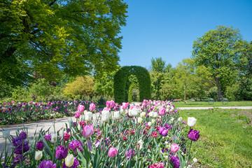 Fotobehang Lavendel Tulpenbeet und grüner Bogen im Rosengarten, Stadtpark Untergiesing im Frühling