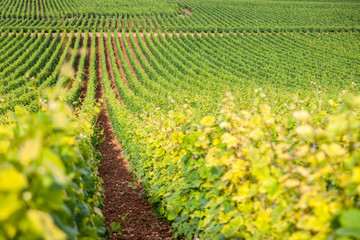 Foto auf Acrylglas Gelb Closeup panoramic shot rows summer vineyard scenic landscape, plantation, beautiful wine grape branches, sun, limestone land. Concept autumn grapes harvest, nature agriculture background