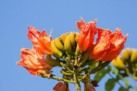 Orange flowers of african tulip tree