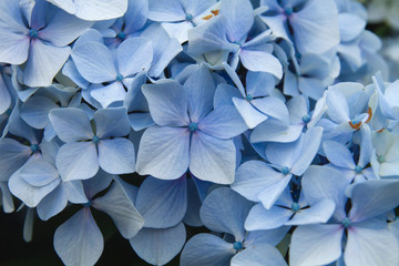 Deurstickers Hydrangea Hydrangea blue flowers close up