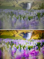 Wall Mural - Beautiful view of vivid lupine flowers. Location Skogafoss waterfall, Skoga, Iceland, Europe.