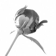Peony bud isolated on white background. Black and white photo