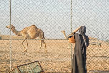 Poster Kameel アラビア砂漠のラクダ(アラブ首長国連邦)