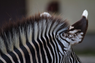 Wall Murals Zebra Details of a head and neck of a zebra
