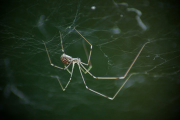 Macro photo of daddy long legs spider (Phalangium opilio). The spider is in its web, hanging down. Green background