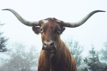 Wall Mural - Texas Longhorn cow in foggy field close up.