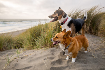 Two dogs on the beach in the dunes at Bodega Bay, California.