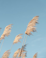 Reeds leaf neutral on blue sky background. Creative, minimal, styled concept for bloggers.
