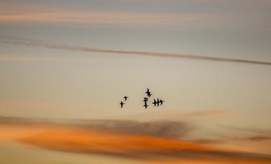 Anátidas en vuelo al atardecer. Silueta de patos volando.