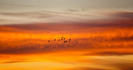 Patos volando al atardecer con el fondo anaranjado. Anátidas en vuelo al atardecer..