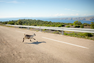 Goats crossing the road on the island of Hvar in Croatia.