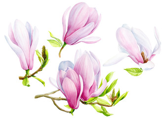 set of magnolia flowers on an isolated transparent background, watercolor illustration, hand drawing, botanical painting, tropical flora