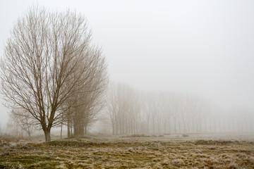 Fotorolgordijn Grijs Pradera con escarcha, línea de chopos y niebla en invierno.