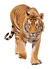 Fototapeten Tiger Tiger walking on white background