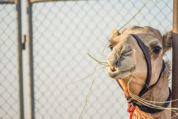Obraz アラビア砂漠のラクダ(アラブ首長国連邦) - fototapety do salonu