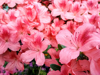 Photo sur Aluminium Azalea Flower azalea blooming in springtime. Background full of flowers Japanese pink Azalea.