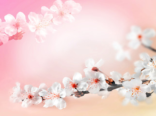 Blossom tree over pink background. Spring flowers. Spring Background
