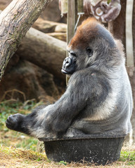 funny picture of a silverback gorilla sitting in a tub