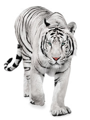 Fototapeten Tiger Strong white tiger walking, isolated on white background