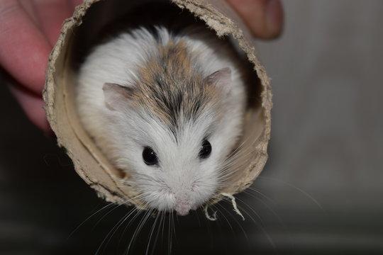 roborovski hamster in cardboard tube