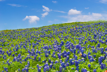 Texas bluebonnets blooming on the meadow in spring