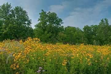 Landscape of a summer wildflower prairie with yellow and purple coneflowers, Michigan, USA Fotobehang