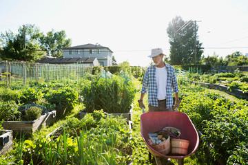 Senior man with wheelbarrow in sunny vegetable garden