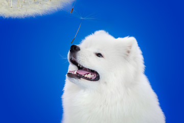 Wall Mural - White dog breed Samoyed on a blue background on the nose dandelion. Closeup
