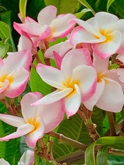frangipani flowers on a background