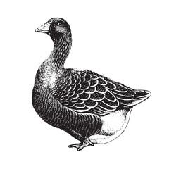 Toulouse goose (Anser anser) / vintage illustration from Brockhaus Konversations-Lexikon 1908