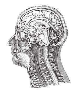 Human head anatomy / vintage illustration from Brockhaus Konversations-Lexikon 1908