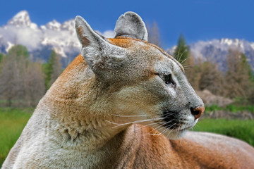 Close up portrait of cougar / puma / mountain lion