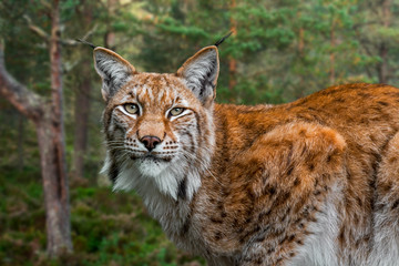 Eurasian lynx (Lynx lynx) close up portrait in forest