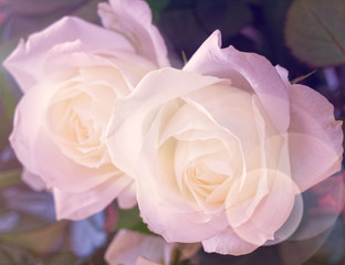 bubbles filtered rose flower close up, soft and airy romantic background