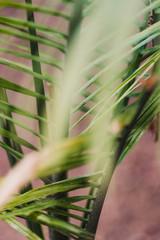 tropical exotic green lush ravenea palm tree leaf