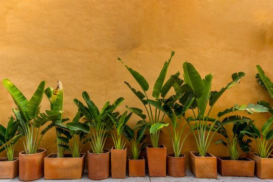Banana plants in pots against ochre wall.