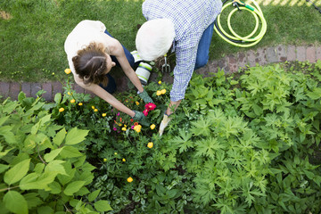 Overhead view senior father and daughter gardening, planting flowers in garden
