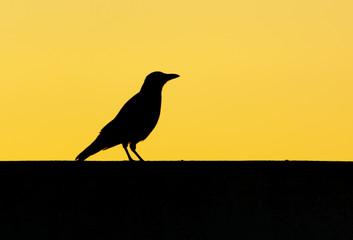 Foto op Canvas Meloen Black raven at dawn of the sun