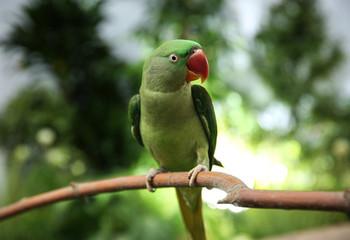 Beautiful Alexandrine Parakeet on tree branch outdoors