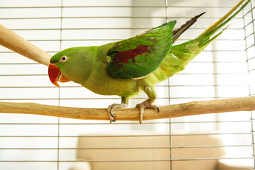 Beautiful Alexandrine Parakeet on branch in cage