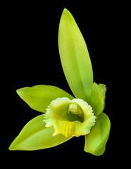 fleur de vanille sur fond noir