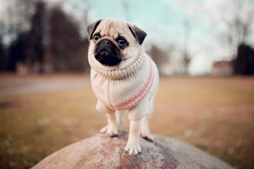 New born female pug dog outdoor. Portrait of beautiful female puppy pug dog.