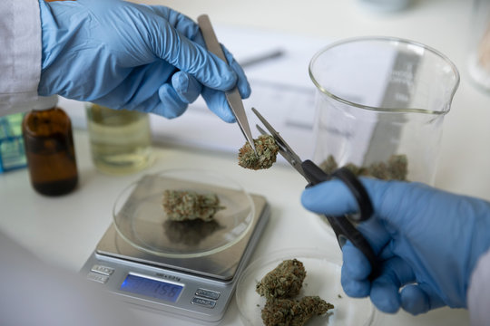 Quality control specialist trimming and measuring marijuana buds