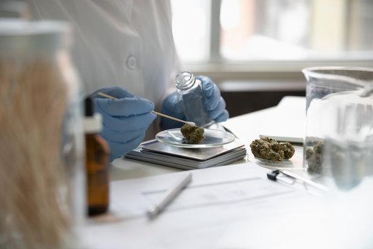 Quality control specialist testing and measuring marijuana buds
