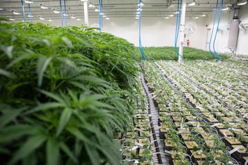 Cannabis plants growing indoors